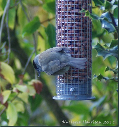 blackcap-3