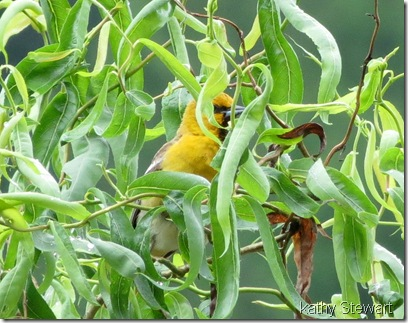 Bullock's Oriole - First year male
