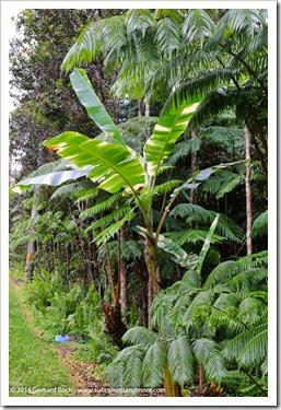 140805_Hawaii_BananaAeAe_025