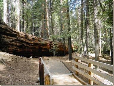 LA Falling Giant Sequoias.JPEG-0789a.jpg