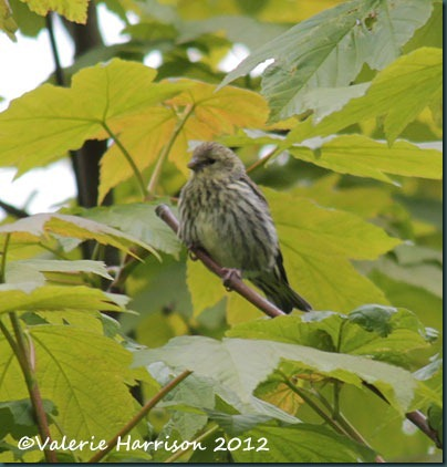 baby-siskin