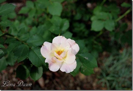 Rose_Bonica