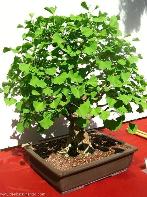 bonsais arvores em miniatura desbaratinando (46)
