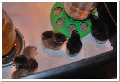 more baby chicks