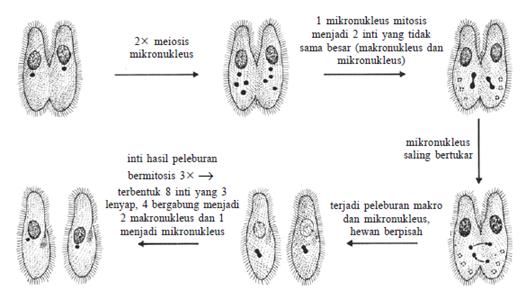 Proses konjugasi paramaecium