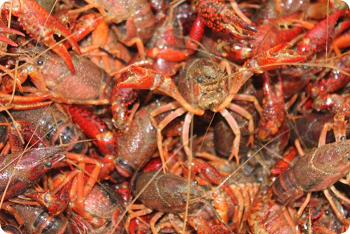 Crawfish 024