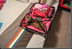 Rashi in the Suitcase!  She wants to become a traveling cat
