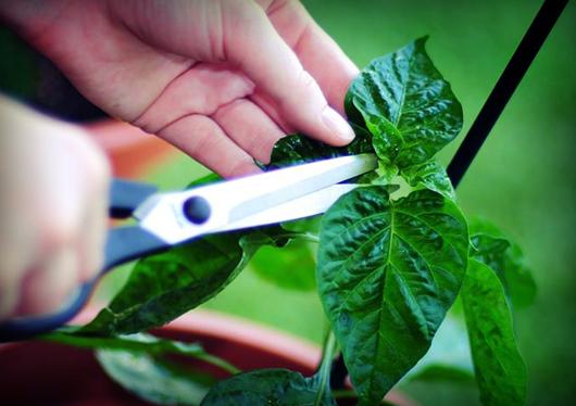 bhut.jolokia.seedlings.jpg