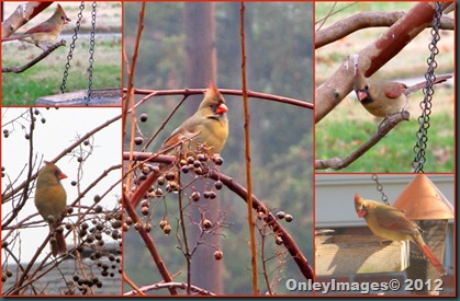 Cardinals Female collage