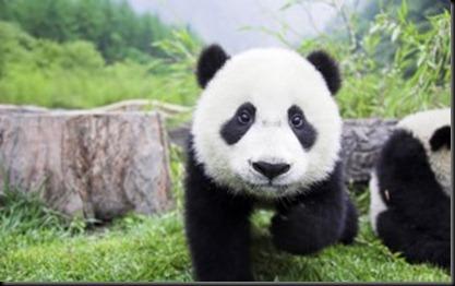 baby-panda-300x187