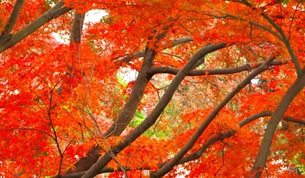 Autumn leaves in Kobe