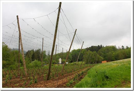 120506_hops_field_01