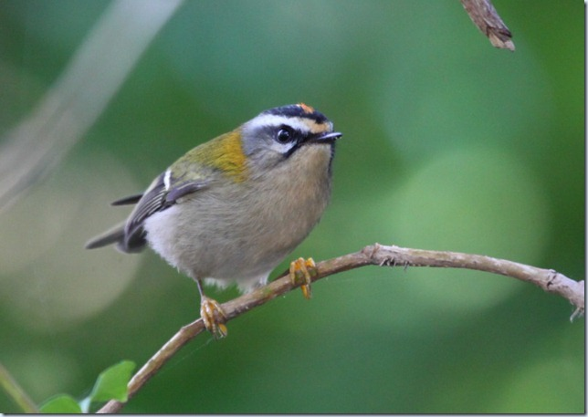 firecrest
