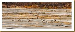 - Flock Snow Buntings Flying D7K_8820 November 17, 2011 NIKON D7000