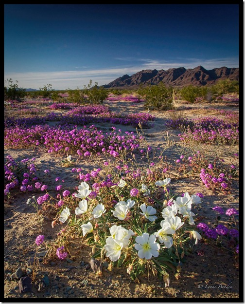 Mohave Evening Blooms