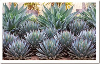120929_SucculentGardens_Agave-Blue-Glow- -Blue-Flame_05
