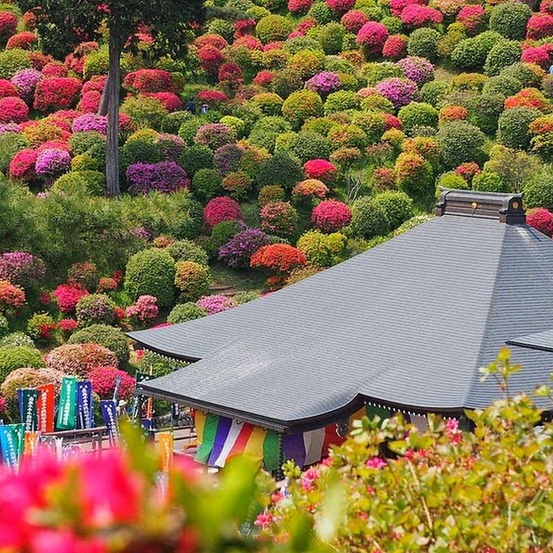 The Azaleas of Shiofune Kannon-ji Temple in Japan