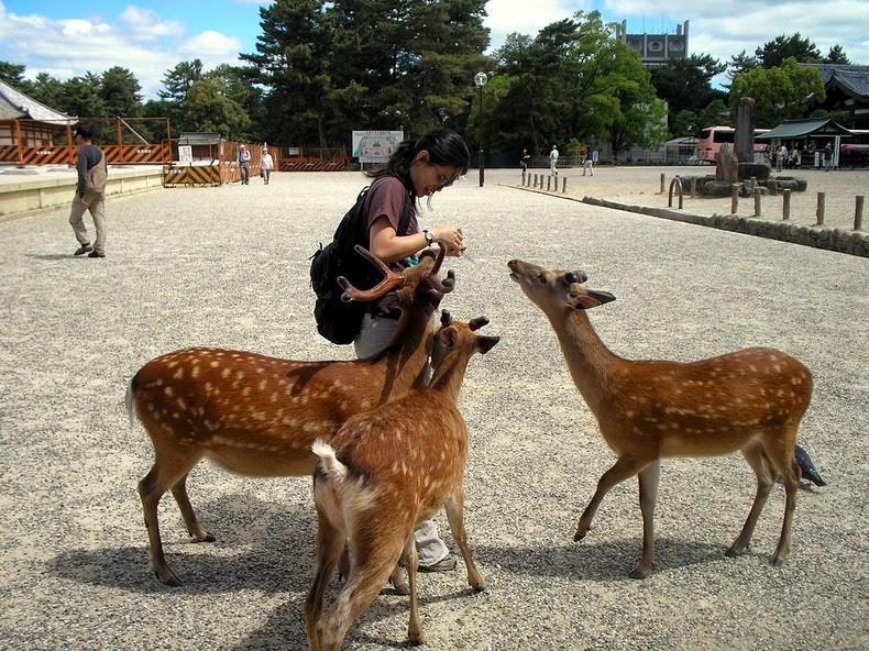nara-deer-7