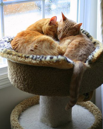 Just another lazy day for Starbuck and Boomer, domestic shorthairs from Reading, Pennsylvania. Contributed by bma70.