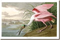 Audubon Roseate Spoonbill