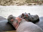Derniers hippopotames des Virunga. Suite aux guerres, les hippopotames ont presque disparu de l'est de la RD-Congo. Il y'a encore 20 ans, ces animaux constituaient la plus grande population d'hippopotames d'Afrique. Photo: Flickr bjectifbrousse