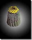 barrel cactus PE blk bkgrnd