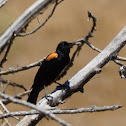 Red-wing Blackbird (orange var.)