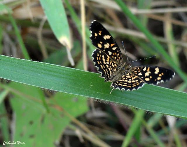 Anthanassa hermas (HEWITSON, 1864). Colider (Mato Grosso, Brésil), avril 2011. Photo : Cidinha Rissi