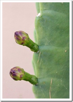 110805_Cereus-hildmannianus-susp