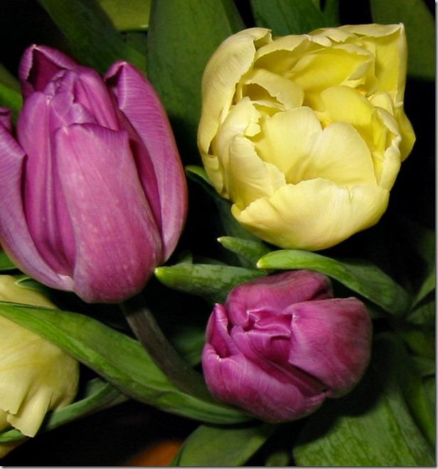 tre tulip