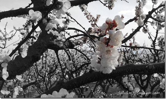 spring blossoms April 2013 (1)