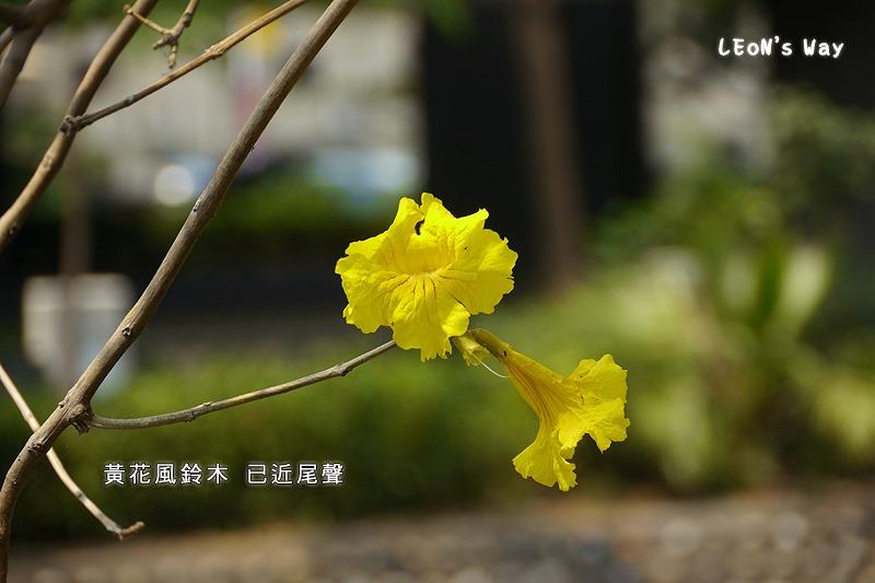 2013_0321-0322 苦楝樹_042