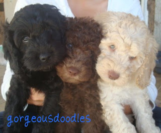 Gorgeous Labradoodle Puppies.