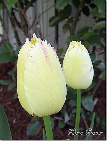 Tulip_Carosuel