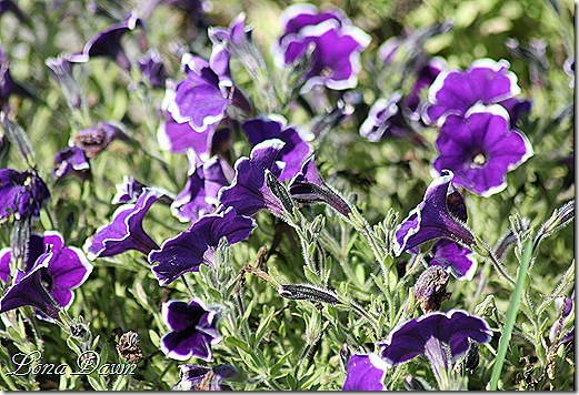 FPC_Petunia_Rythm_and_Blues