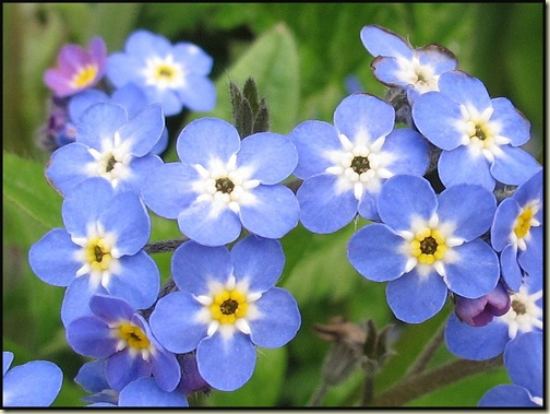 Canalside forgetmenots