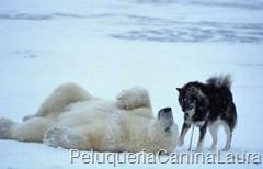 osos polar con husky