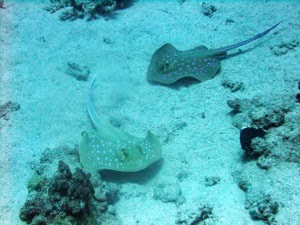Two Blue Spotted Rays