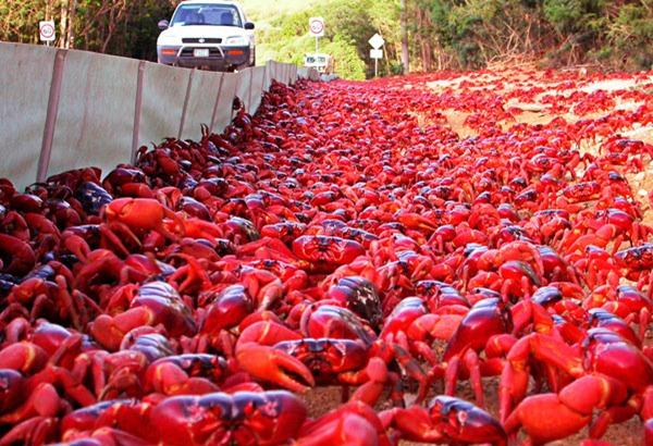 Crabs – Christmas Island