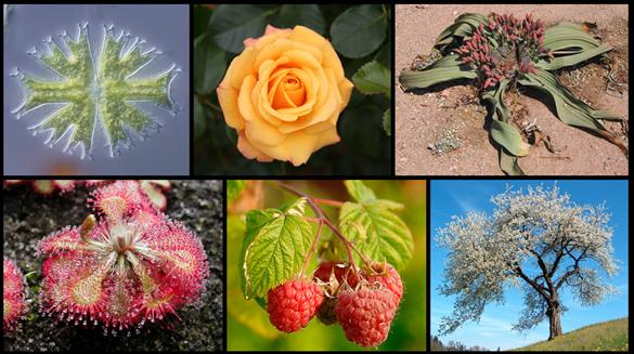 11 Ciri-Ciri Kingdom Plantae