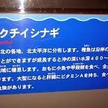 striped jewfish at the Shinagawa Aquarium in Shinagawa, Tokyo, Japan