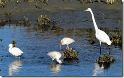 Snowy Egret, a pair of Ibis, and a Great Egret in the oyster beds