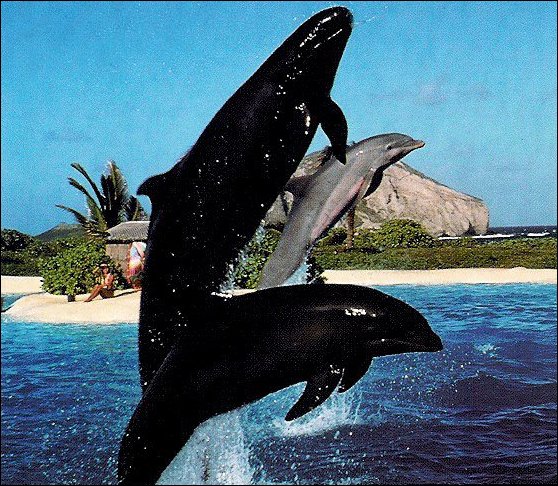 One of three false killer whales imported to Sea Life Park, Hawaii, from the Taiji dolphin drives in 1990.  With her is her half-dolphin calf. Sea Life Park still has the offspring of this whale. Photo: Candace Calloway Whiting / Seattle PI