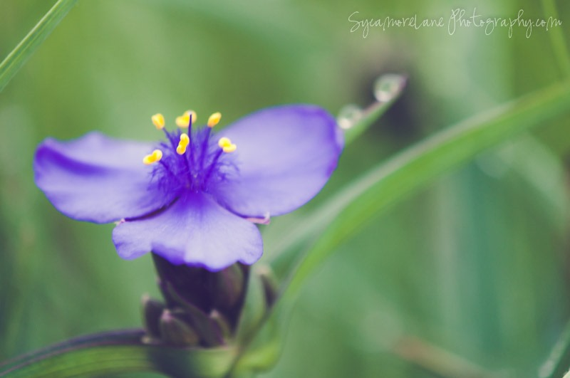 SycamoreLane Photography-Spiderwort