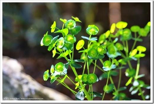 150318_home_022_Euphorbia-amygdaloides-robbiae