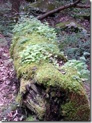 Mossy Log-Roaring Fork