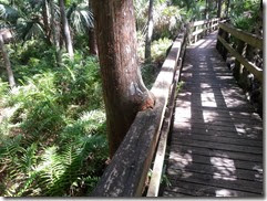 Tree growing into boardwalk