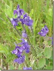 blueCamusHyacinth