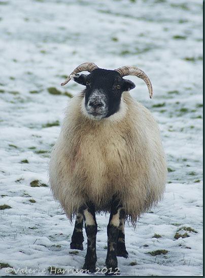 32-sheep