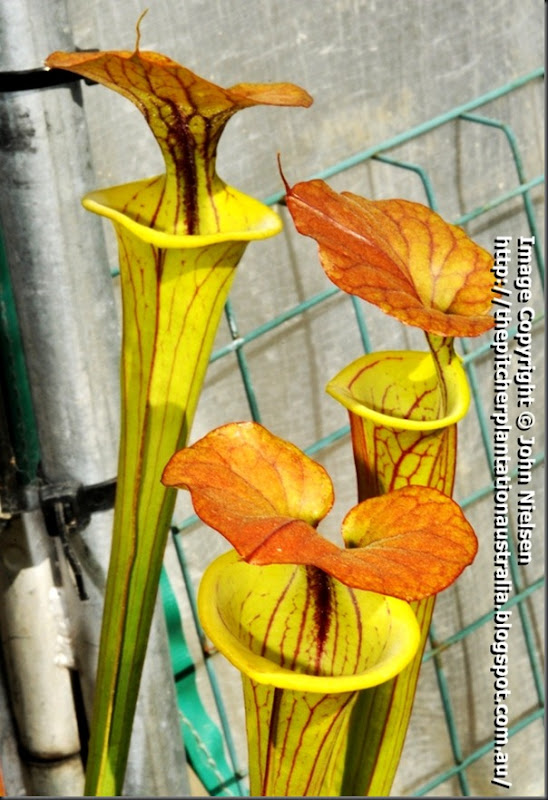 flava_cuprea_Victorianclone_pitchers_web